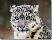 snowleopard-520x390